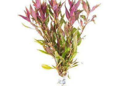 Altermanthera Lilacina