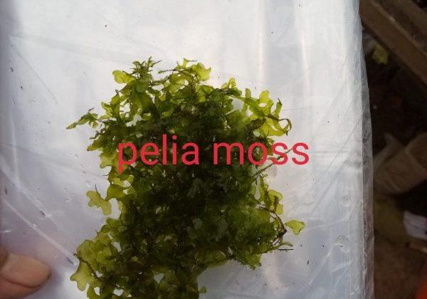 Pelia Moss