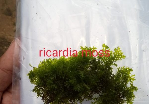 Ricardia Moss