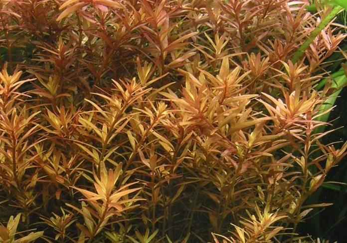 Rotala Indica Rotundifolia