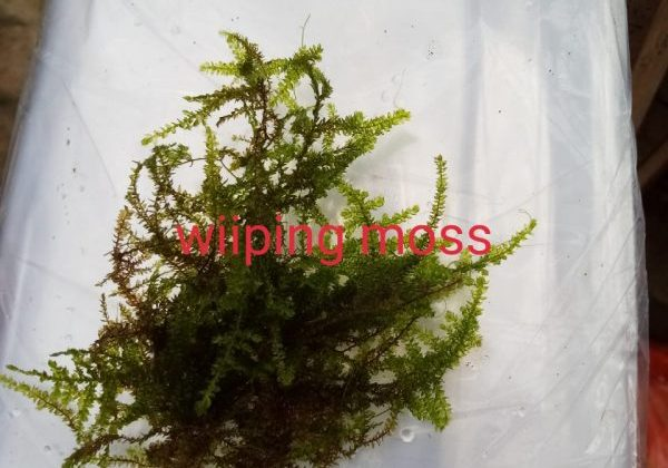 Wipping Moss