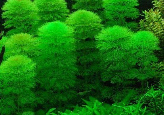 limnophila Sessiliflora